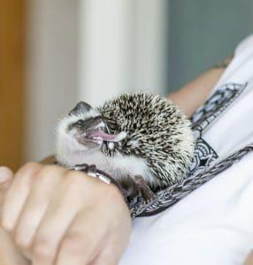 hedgehog self-anoiting