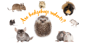 Are hedgehogs rodents