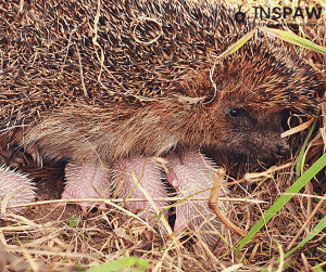Hedgehog Mother Nursing
