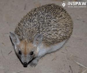 Long-eared hedgehog (Hemiechinus auritus)